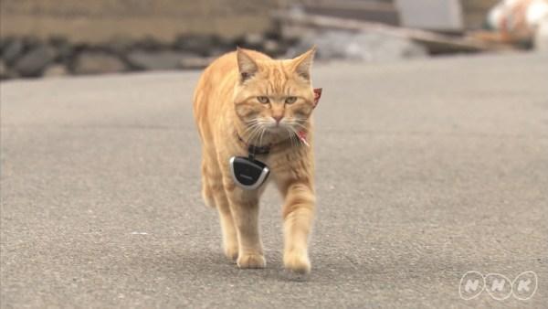 """171027Darwincat02 600x338 - 「ダーウィンが来た!」で2週連続猫大特集、""""猫視聴率""""にも期待高まる"""
