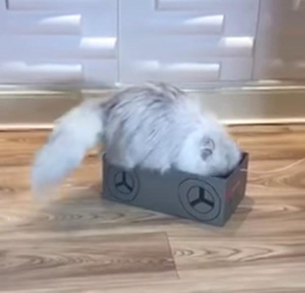 171103catonthebox 600x577 - 連休の猫の室内遊戯に役立つ、曳いて楽しや靴の空箱