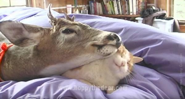 171113catanddeer 600x320 - 飼い鹿に愛されまくる茶白猫、舐められ続けて乱れる髪形