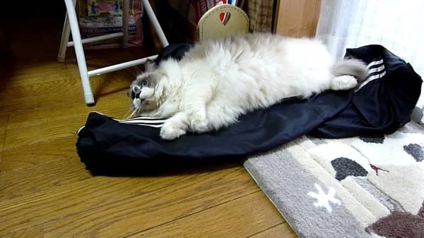180106cat 600x338 - 飼い主の着替えの上に横たわる猫、仕事へ行くのを全力で阻止