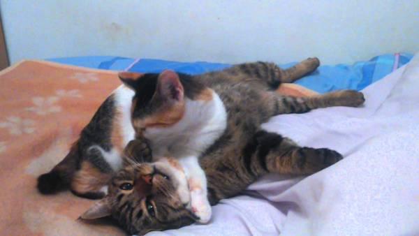 180119cats 600x338 - 三毛猫に寝技を食らったキジトラ猫、フォールを決められそのまま就寝