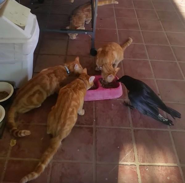 180205catandcrow 600x596 - 手負いのカラスと一緒にモグモグ、猫たちご飯をおすそわけ