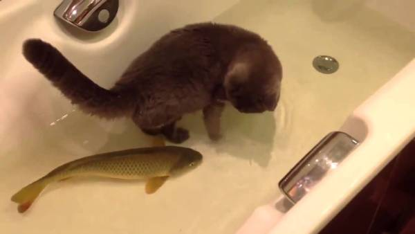 180321catandfish 600x338 - 浴槽で鯉と一緒に戯れる猫、手を出す姿はおっかなびっくり