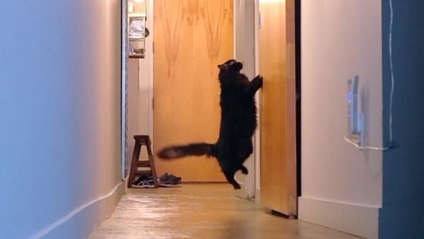 180519cats 600x338 - 世の中には2種類の猫がいる、扉が開くまで鳴く猫と開いた後から鳴く猫と