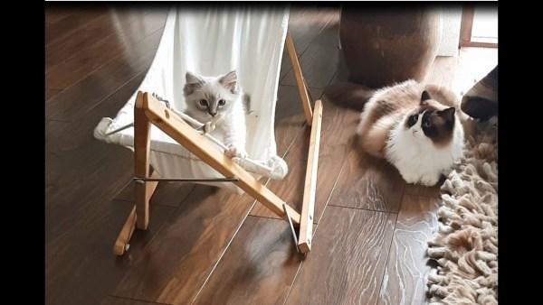 180705cattimo 600x338 - 4か月かけて覚えたあの技を、後輩が一瞬で覚えて困惑する猫