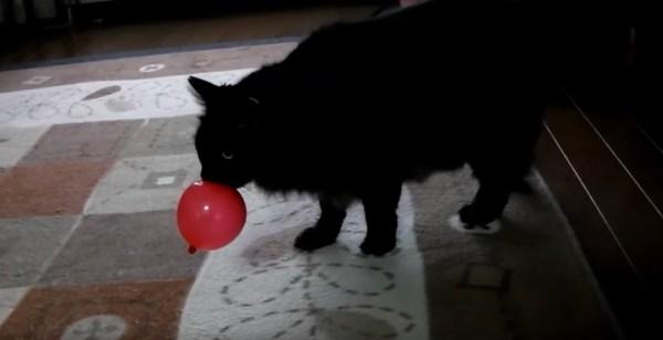 180722cat 600x308 - 風船を牙でパチンと割った猫、そっと咥えて運ぶの覚え