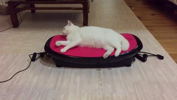 181113cat 600x338 - ダイエットマシンに横たう白猫、揺れて揺らされ液状化
