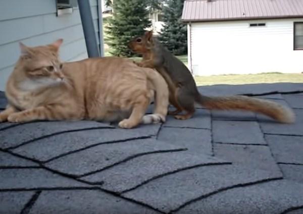 190228cat 600x425 - 旧友とじゃれて転げる屋根の上、茶猫とリスの仲良しコンビ