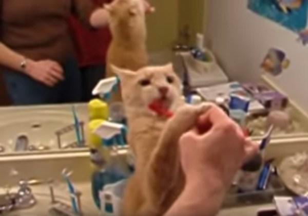 190411cat 600x422 - 自分から率先して歯を磨く猫、早く寄こせと身を乗り出して