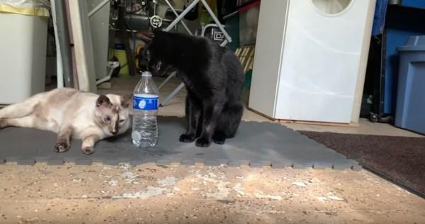190723cat 1920 600x316 - 猫によるボトルキャップチャレンジ大成功、隣の猫も驚きの顔