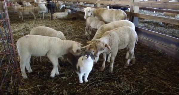 191018cat 600x317 - 子羊の小屋に侵入牛柄の猫、モテ期来たりてご満悦顔