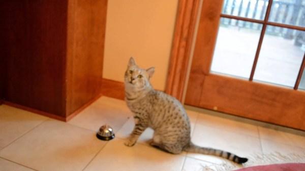 191128cat 600x338 - ベルを鳴らしておねだりする猫、要求するのは物にはあらず