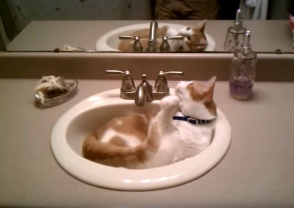 自ら蛇口を開けて飲む猫、一手間増やして叱られて