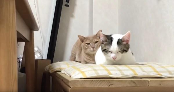 200403cat 1920 600x316 - 眠る猫の背後に隠れる茶トラ猫、睨みをきかせてカメラを威嚇