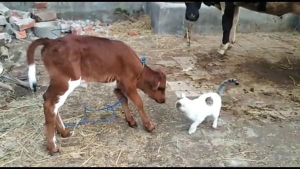 200720cat 600x338 - 親牛にも仔牛からにも愛される猫、行く先々で毛づくろわれ