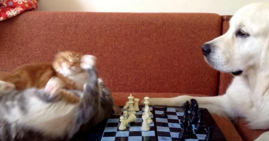 201209cat 1024x538 - 猫対犬のチェス名人戦、乱入者とのバトルで流局