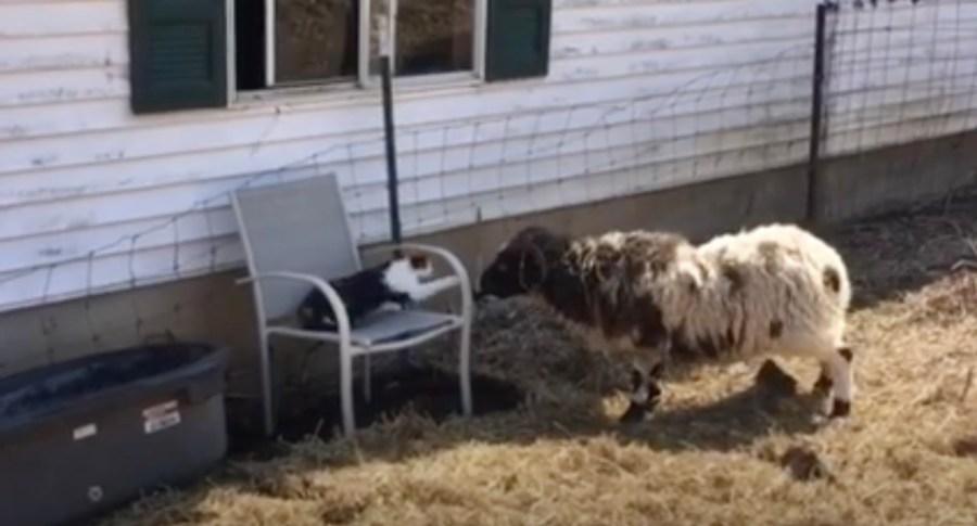 その席を降りてくださいと迫られる猫、羊の説得聞かずに居座る