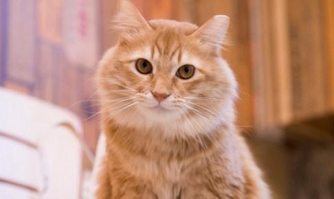ネコリパの猫