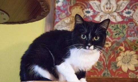 ネコリパの黒白猫
