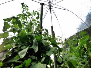 トマトは傘をさしてます