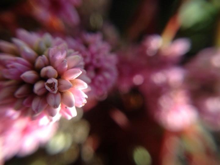 冬の金平糖~姫蔓蕎麦の花