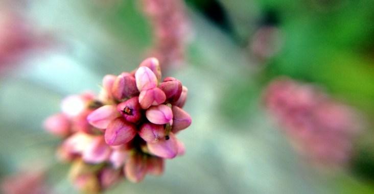 秋の野原に咲く犬蓼の花