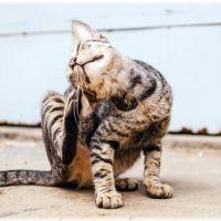 【毛が抜ける】猫の原因不明の皮膚病4つの原因【フケ】