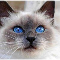 【聖なる猫】バーマンの性格と子猫の値段を調べてみた
