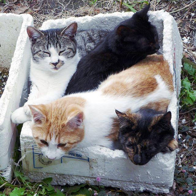 ネコの詰め合わせ #こねこ部 #ねこ部 #ニャンスタグラム #にゃんすたぐらむ #ねこ #こねこ #にゃんこ #しまねこ #黒猫 #サビ猫 #cat #kitty #catstagram #petstagram #instacat #meow #catoftheday #ilovemycat #catlove #catlover
