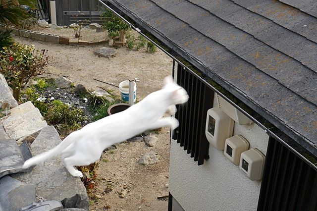 JUMP! 連続画像はWEBで http://nekonekodan.com/setouchi/agliojump/ #こねこ部 #ねこ部 #ニャンスタグラム #にゃんすたぐらむ #ねこ #こねこ #にゃんこ #しまねこ #白猫  #cat #kitty #catstagram #petstagram #instacat #meow #catoftheday #ilovemycat #catlove #catlover