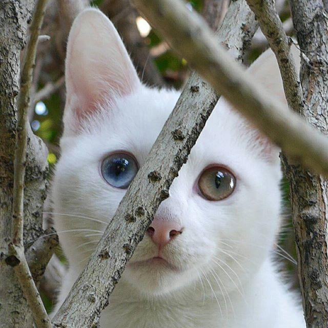 アーリオ、キンモクセイに木登り。きれいな目でしょ! #こねこ部 #ねこ部 #ニャンスタグラム #にゃんすたぐらむ #ねこ #こねこ #にゃんこ #しまねこ #白猫 #cat #kitty #catstagram #petstagram #instacat #meow #catoftheday #ilovemycat #catlove #catlover #オッドアイ
