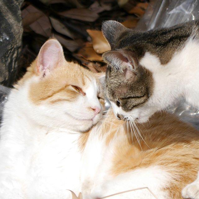 雰囲気出してるけど恋人じゃなくて兄妹だよ。まぶちゃん(兄:左)とさばちゃん(妹:右) ピンぼけはご愛嬌ということで。 #ねこ部 #ニャンスタグラム #にゃんすたぐらむ #ねこ #ネコ #ネコ部  #ネコ好き  #ネコスタグラム  #ネコのいる生活 #にゃんこ #しまねこ #鯖白 #cat #茶白猫 #茶白 #catstagram #petstagram #instacat #meow #catoftheday #ilovemycat #catlove #catlover99999 #고양이 #고냥이 #냥이