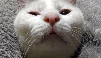 ねこ部 #ニャンスタグラム #にゃんすたぐらむ #ねこ #ネコ #ネコ部 #ネコ好き #ネコスタグラム #ネコのいる生活 #にゃんこ #しまねこ #白猫  #cat #catstagram ...