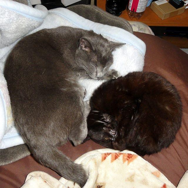 オーリオとちびくろちゃん。オーリオもあまり大きくないけど、同じ月に生まれたちびくろちゃんの体重は半分以下。最近はちゅ~るのおかげか、走られるようになってきたよ!  #ねこ部 #ニャンスタグラム #にゃんすたぐらむ #ねこ #ネコ #ネコ部  #ネコ好き  #ネコスタグラム  #ネコのいる生活 #にゃんこ #しまねこ #黒猫 #cat #catstagram #petstagram #instacat #meow #catoftheday #ilovemycat #catlove #고양이 #고냥이 #냥이 #江田島