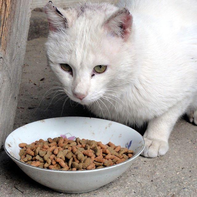 お外でランチ中のパイパイ。白猫なのに放浪が好きなので、耳の皮膚が紫外線に負けて皮膚炎に。ちょっとカールして可愛い耳なのにね~。 #ねこ部 #ニャンスタグラム #にゃんすたぐらむ #ねこ #ネコ #ネコ部  #ネコ好き  #ネコスタグラム  #ネコのいる生活 #にゃんこ #しまねこ #白猫 #cat #catstagram #petstagram #instacat #meow #catoftheday #ilovemycat #catlove #고양이 #고냥이 #냥이 #江田島