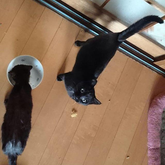 チーム・イカスミ。左はちびくろちゃん11ヵ月で、右は妊娠中のち子ちゃん7ヵ月。お魚くれとうったえてる。  #kitty #ねこ部 #ニャンスタグラム #にゃんすたぐらむ #ねこ #ネコ #ネコ部  #ネコ好き  #ネコスタグラム  #ネコのいる生活 #にゃんこ #しまねこ #黒猫 #cat #catstagram #petstagram #instacat #meow #catoftheday #ilovemycat #catlove #고양이 #고냥이 #냥이 #江田島