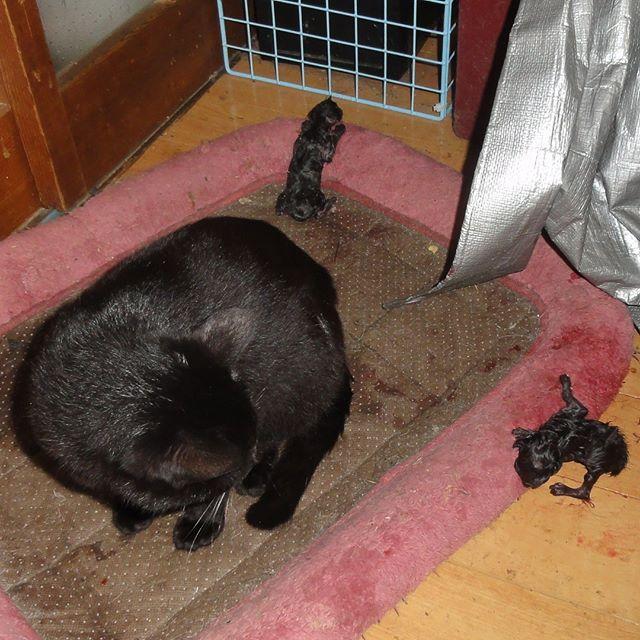 2匹め生まれた!またもや黒猫ちゃん。明日になったら区別がつかないぞ。#こねこ部 #こねこ #kitty #ねこ部 #ニャンスタグラム #にゃんすたぐらむ #ねこ #ネコ #ネコ部  #ネコ好き  #ネコスタグラム  #ネコのいる生活 #にゃんこ #しまねこ #黒猫 #cat #catstagram #petstagram #instacat #meow #catoftheday #ilovemycat #catlove #고양이 #고냥이 #냥이