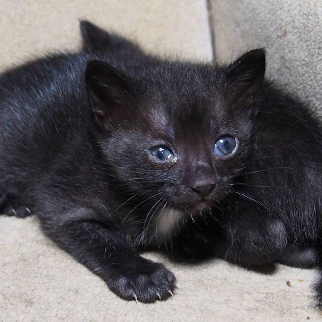 もうすぐ1ヵ月。そろそろ他のネコと交流させてもいいかも。#こねこ部 #こねこ #kitty #ねこ部 #ニャンスタグラム #にゃんすたぐらむ #ねこ #ネコ #ネコ部  #ネコ好き  #ネコスタグラム  #ネコのいる生活 #にゃんこ #しまねこ #黒猫 #cat #catstagram #petstagram #instacat #meow #catoftheday #ilovemycat #catlove #고양이 #고냥이 #냥이