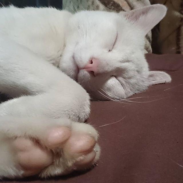 肉球兄さんアーリオ。外に出る子なので、けっこう硬いよ #ねこ部 #ニャンスタグラム #にゃんすたぐらむ #ねこ #ネコ #ネコ部  #ネコ好き  #ネコスタグラム  #ネコのいる生活 #にゃんこ #しまねこ #猫 #白猫 #cat #catstagram #petstagram #instacat #meow #catoftheday #ilovemycat #catlove #고양이 #고냥이 #냥이