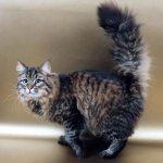 サイベリアン〜ロシアから来た猫〜