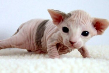 2_week-old_Female_Sphynx_(Suki)