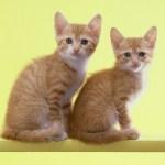 世界初のクローン猫のCC 〜エピジェネティクス〜