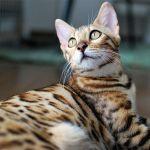 ヒョウ柄の猫ベンガル 誕生の歴史と特徴