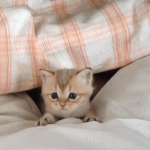 【激かわ♡】布団から顔をちょこんと出している子猫が可愛すぎてキュン死しそう(*´艸`*)