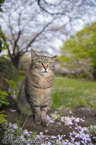 野良猫 キジトラ猫