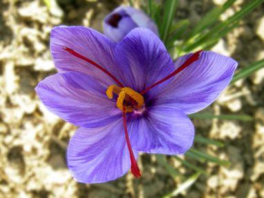 http://gardenofeaden.blogspot.co.uk/2011/05/what-is-saffron.html