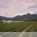 Picking strawberries in Cape Town