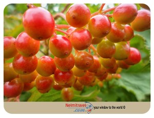 Malinka; Kalinka Malinka; Russian Folklore; Snowball Tree; Raspberry; Strawberry; Svetlogorsk; Ivan Larionov;