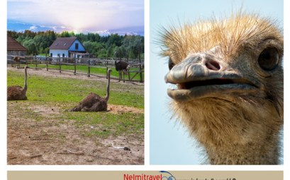 Ostriches;Information about ostriches;Ostrich Bird;ostriches in Russia;ostriches in Slavsk;Ostrich Eggs;ostrich facts;ostrich farming