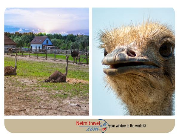 Ostriches;Information about ostriches;Ostrich Bird;ostriches in Russia;ostriches in Slavsk;Ostrich Eggs;ostrich facts;ostrich farming